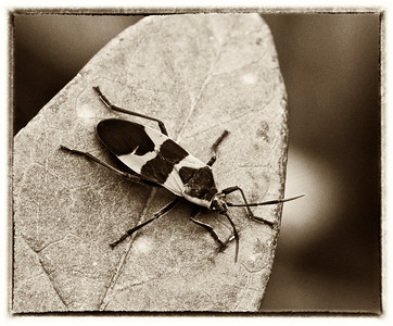 Milkweed Bugs bw