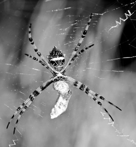 Spiders bw