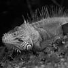 Iguana10716-11bw