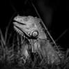 Iguanas_7364-2 copy