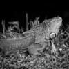 Iguanas_8250-2 copy