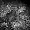 Iguanas_7642-2 copy