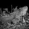 Iguanas_8250-3
