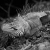 Iguana10716-12bw