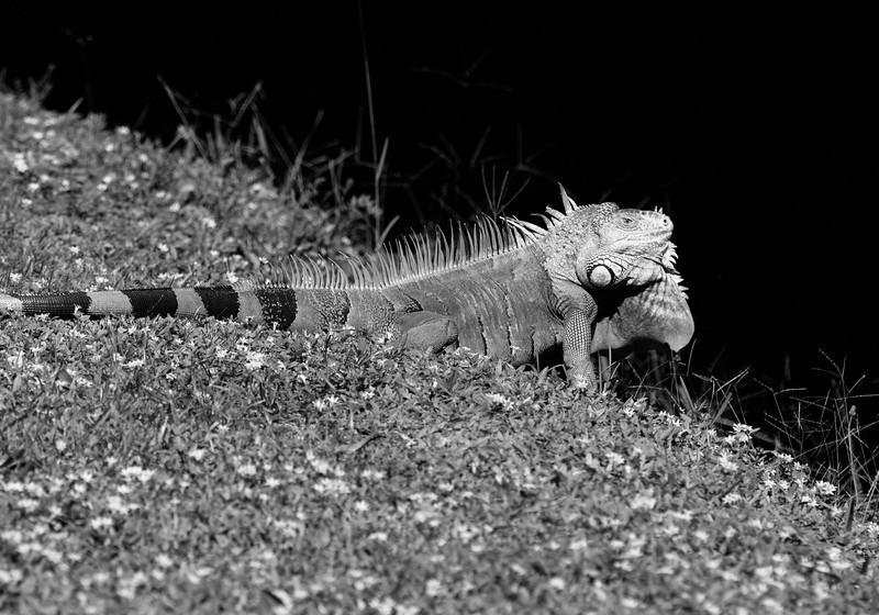 Iguana_0345-Edit
