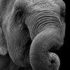 Asian elephant with curled trunk