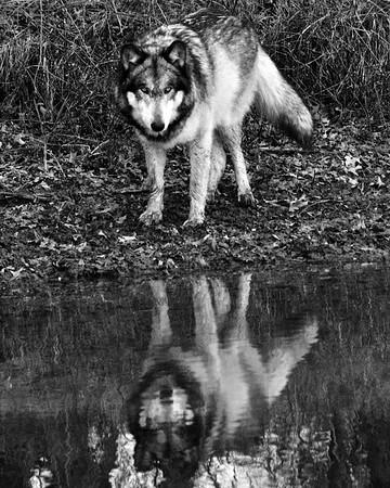 Wolf Park - Battle Ground, Indiana - Reudi