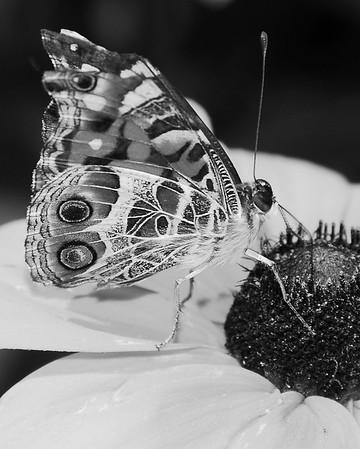 Common Buckeye Butterfly - Junonia coenia