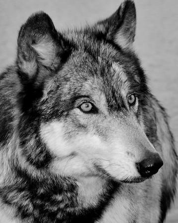 Wolf Park - Battle Ground, Indiana - Ayla