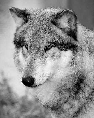 Wolf Park - Battle Ground, Indiana - Wotan