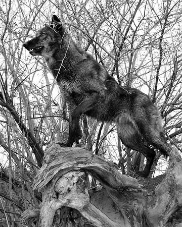 Wolf Park - Battle Ground, Indiana - Dharma