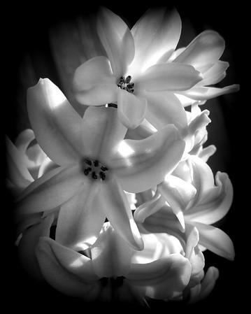 Flower - Hyacinthus (Hyacinths)