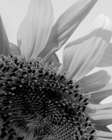 Flower - Helianthus (Sunflower)