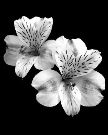Flower - Alstroemeria (Peruvian Lily)