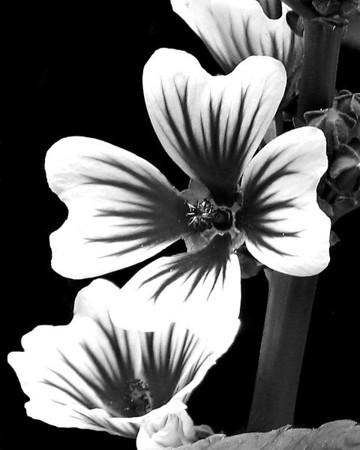 Flower - Geranium (Cranesbill)