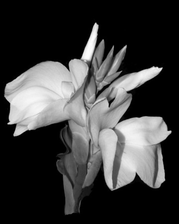Flower - Canna Lily