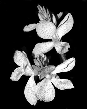 Flower - Canna x generalis 'Cleopatra'