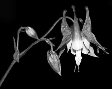 Flower - Aquilegia (Columbine)
