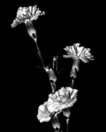 Flower - Dianthus caryophyllus (Carnation)