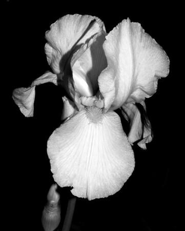 Flower - Iris