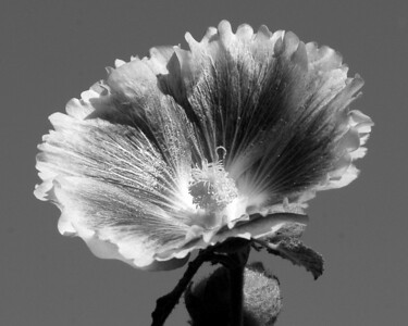 Flower - Alcea (Hollyhock)