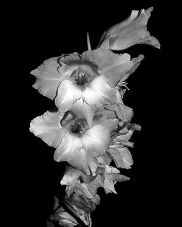 Flower - Gladiolus (Sword Lily)