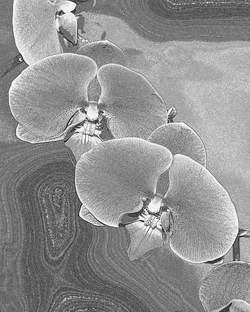 Doritaenopsis Ming Shing Star-002