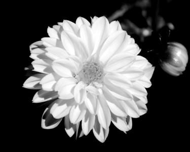 Flower - Dahlia