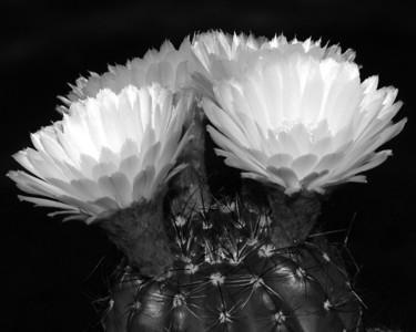 Flower - Cactus