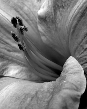 Flower - Lillium (Lily)