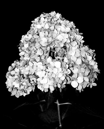 Flower - Hydrangea (Hortensia)