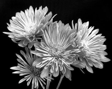 Flower - Chrysanthemum (Mum)