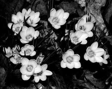 Flower - Crocus