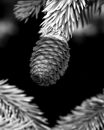 Flower - Conifer Cone (Pine Cone)