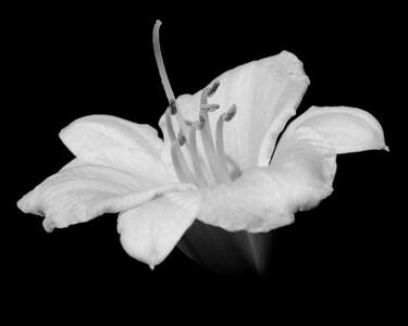Flower - Lilium (Lily)
