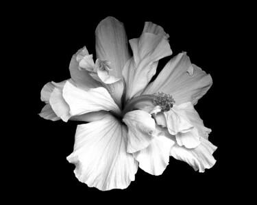 Flower - Hibiscus