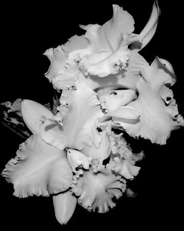 Orchid - Cattleya Elizabeth Carlson 'York'
