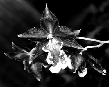 Orchid - Odontocidium Hans Neuenhaus 'Grande'