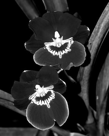 Orchid - Miltonia Bert Field 'Eileen'