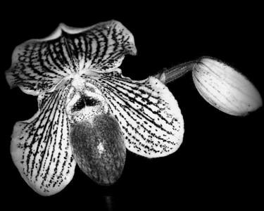 Orchid - Paphiopedilum Angela