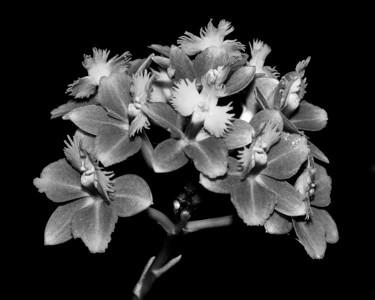 Orchid - Epidendrum