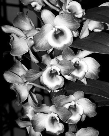 Orchid - Dendrobium Upin King 'Serenade'