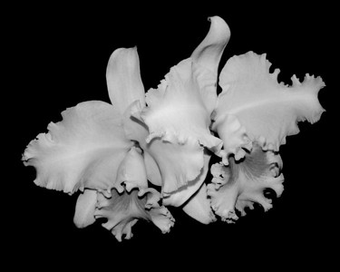 Orchid - Cattleya Picasso 'Modern Art'