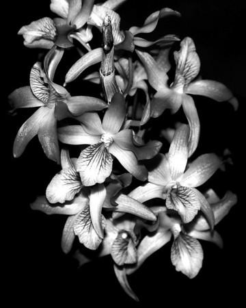 Orchid - Dendrobium Rainbow Dance 'Peach'