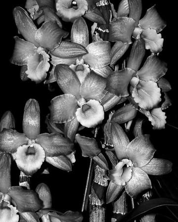 Orchid - Dendrobium Oriental Smile 'Fantasy'