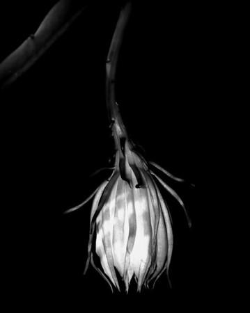 Orchid - Kagawara Yuthayong Beauty