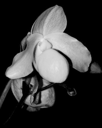 Orchid - Paphiopedilum 'Pine Glow'