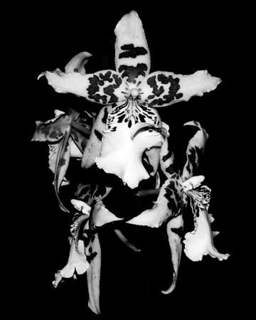 Orchid - Beallara Pacific Pastel 'Massive'