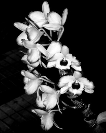 Orchid - Dendrobium Love Memory 'Fizz'