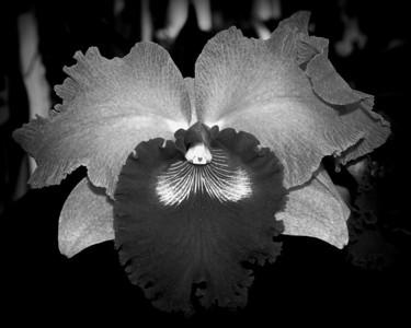 Orchid - Brassolaeliocattleya Hausermann's Holiday 'Christmas'